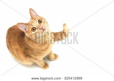 Red Cat Looking Up Isolated On White Background. Copy Space. Isolated Animal