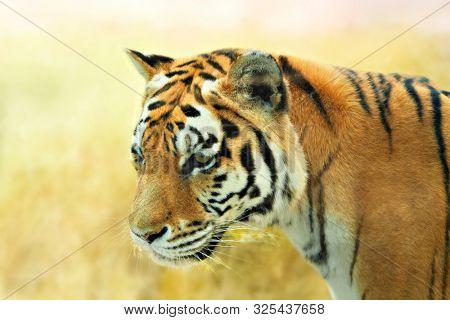 Large tiger in the wild. Nature habitat.