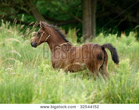 Foal In Long Grass