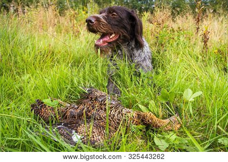 German Wirehaired Pointer Found In The Grass Downed Wildfowl (hen Blackcock) During Hunting And Lies