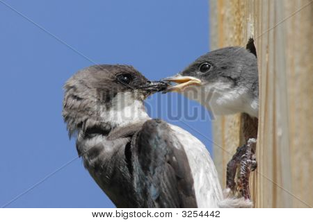 Mother Tree Swallow Feeding Baby