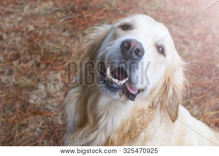 A Cute Golden Retriever Dog Is Looking Up With A Smile In The Forest Against The Background Of Falle