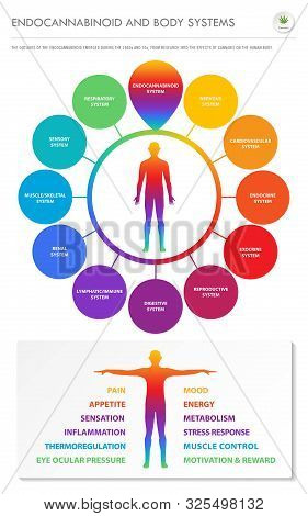 Endocannabinoid And Body Systems - Endocannabinoid Vertical Infographic Illustration About Cannabis