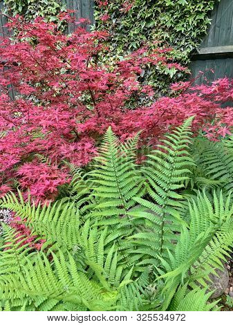 Green ferns and red maple tree in a garden