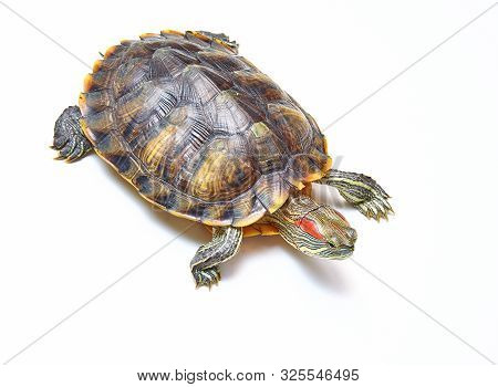 Red-eared Turtle, Trachemys Scripta On White Isolated Background. Yellow-bellied Water Turtle. Close