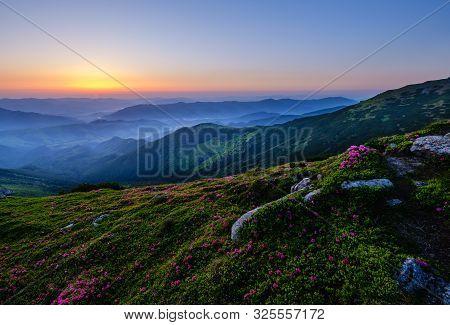 Pink Rose Rhododendron Flowers On Summer Mountain Slope. Carpathian, Chornohora, Ukraine. Sunrise Vi