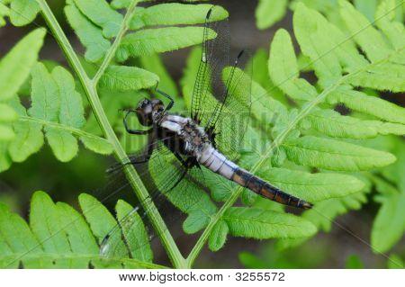 Dragonfly On Green Northern Fern