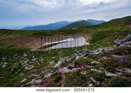 Pink Rose Rhododendron Flowers On Evening Summer Mountain Slope And Melting Snow. Carpathian, Chorno