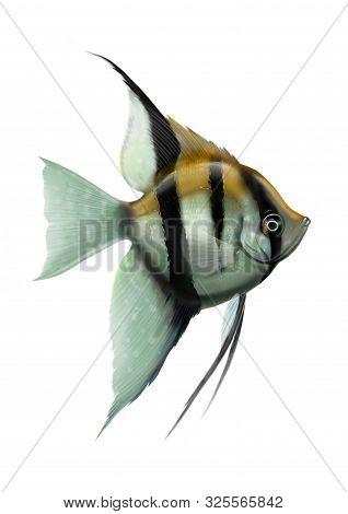 Figure Aquarium Tropical Fish Beautiful Cichlid Angelfish