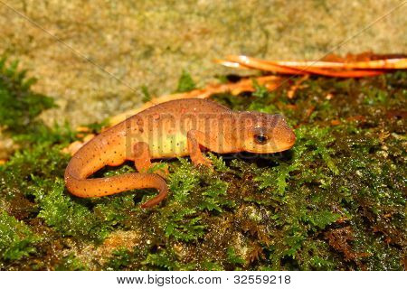 Východní Newt (Notophthalmus viridescens)