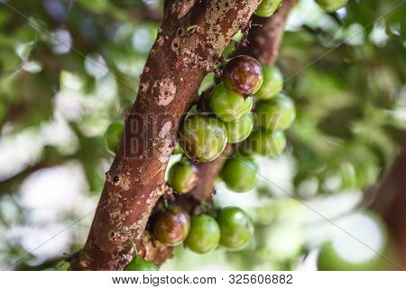 Branches From A Tree Known As Jaboticabeira Or Jabuticabeira, A Brazilian Fruit Tree Of The Mirtacea