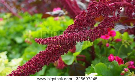 Vivid Amaranthus Caudatus Flowers On Green Plants Background Close Up. Also Known As As Love-lies-bl