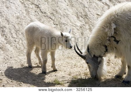 Newborn mountain goats in Jasper National Park. poster