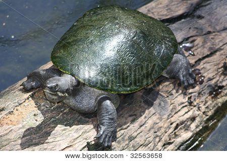 Tartaruga surfando em um Log