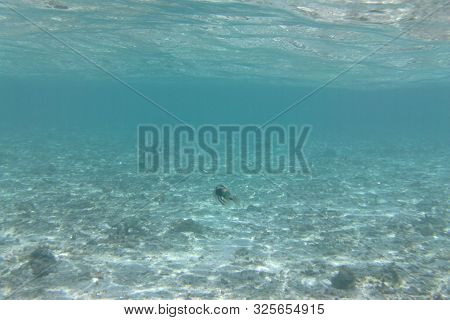 Picasso Triggerfish (rhinecanthus Assasi) Swims In The Indian Ocean, Maldives