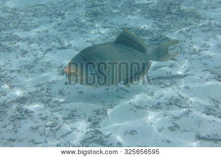 Triggerfish (balistodes Viridescens) Swims In The Indian Ocean, Maldives