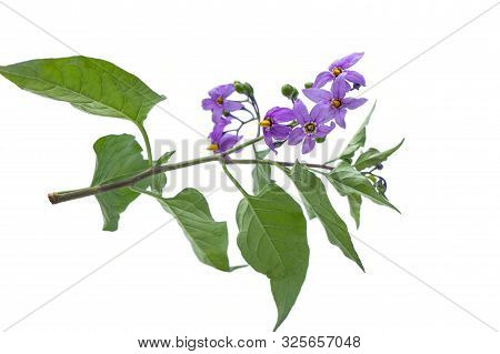 Deadly Nightshade Isolated On White. Violet Flower Solanum Dulcamara. Berrie Are Poisonous, Used In