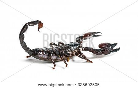Emperor scorpion, Pandinus imperator, in front of white background