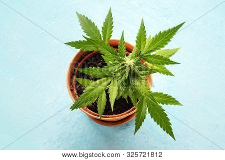 Growing Cannabis At Home. A Female Marijuana Plant In A Pot, Starting To Form White Stigmas, The Ear