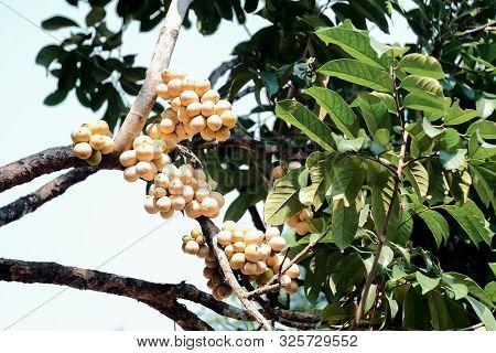 Fresh Wollongong On Tree In Fruit Garden.