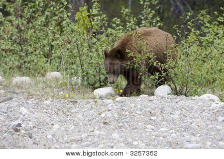 Cinnamon Bear.