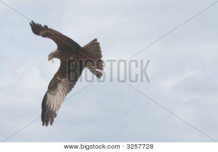 Flying Buzzard