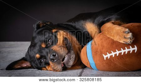 Rottweiler female laying down with stuffed football