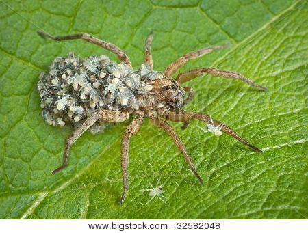 Mother Wolf Spider With Babies