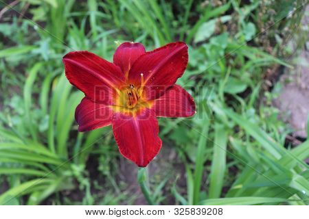 Luxury Flower Daylily In The Garden Close-up.daylily Is A Flowering Plant In The Genus Hemerocallis.