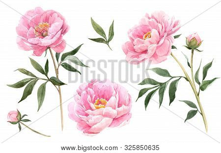 Beautiful Illustration With Hand Drawn Isolated Watercolor Peony Flowers