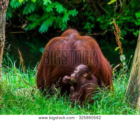 Bornean Orangutan Mother Together With Her Infant, Primate Family Portrait, Critically Endangered An