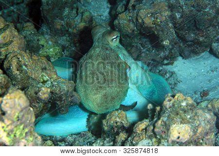 Day Octopus (octopus Cyanea) On Reef. South Ari Atoll, Maldives