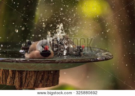 Shaft Tail Finch Birds Poephila Acuticauda In A Bird Bath Bathing Their Wings And Splashing About In