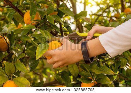 Mandarin Tree Branches With Ripe Fruits. Mandarin Orange Tree. Tangerine. Handa Holding Scissors For
