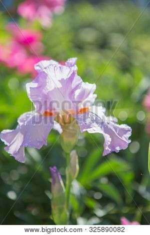 A Plant With Impressive Flowers, Garden Decoration. Iris Germanica Is The Name For A Species Of Flow