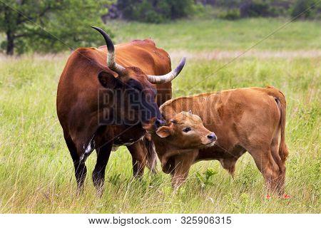 Texas Longhorn Heifer And Calf In The Wichita Mountains Wildlife Refuge, Oklahoma