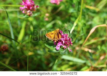 The Picture Shows A Small Skipper On A Flower.