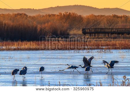 Sandhill Cranes at Bosque del Apache National Wildlife Refuge, Nevada poster