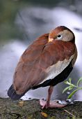 A Black-bellied Whistling Duck (Dendrocygna autumnalis)) sleeping but keeping a weather eye open poster