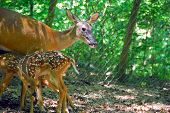 Mommy doe feeding her fawns at local wildlife area poster