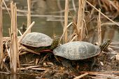 Pair of Painted Turtles sunning themselves in a marsh poster