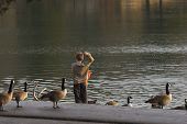 child feeding canadian geese at a local lake poster