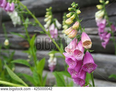 Foxglove Flowers In The Garden. Trumpet-shaped Flowers  Closeup. Short-lived Perennials Digitalis Gr