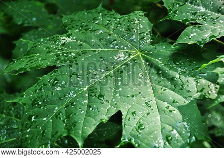 Large Maple Leaf. Maple Leaf With Drops After Rain. Close-up Of A Maple Leaf.