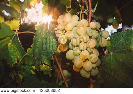 Riesling Grapes With Sun Rays . Riesling Grape Produces An Aromatic Scent With High Acidity