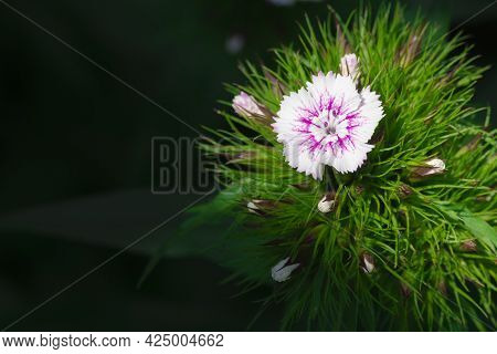 Miniature Indian Carnation Flower Dianthus Close-up On Green Blurred Background. Cute Daisy Flower W