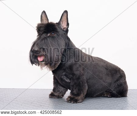 Scotch Terrier Sitting On A Table Isolated On A White Background