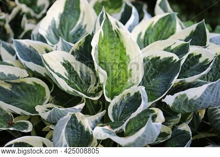 Variegated Plantain Lily, Hosta, Leaves Of Unknown Species And Variety With Dark Green And Light Gre