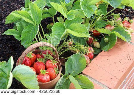 A Modern Vegetable Garden With Raised Briks Beds . Raised Beds Gardening In An Urban Garden . Basket