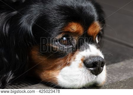Close Up Portrait Of A Cavalier King Charles Spaniel Dog